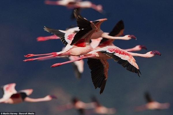 Những hình ảnh hồng hạc bay lượn đẹp tuyệt trần 5