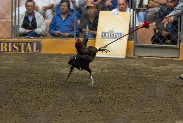 Chứng kiến cảnh chọi gà đẫm máu ở Peru 1