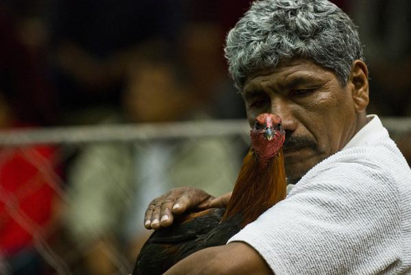 Chứng kiến cảnh chọi gà đẫm máu ở Peru 7
