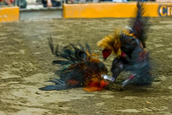 Chứng kiến cảnh chọi gà đẫm máu ở Peru 9