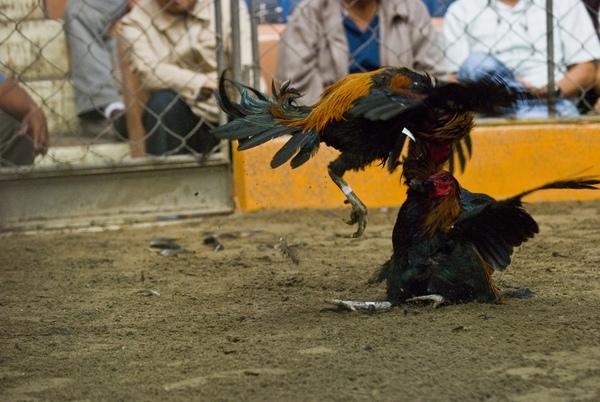 Chứng kiến cảnh chọi gà đẫm máu ở Peru 10