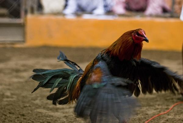 Chứng kiến cảnh chọi gà đẫm máu ở Peru 14