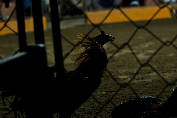 Chứng kiến cảnh chọi gà đẫm máu ở Peru 16