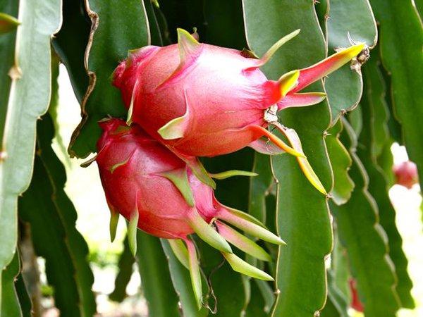 what is star fruit good for mamones fruit
