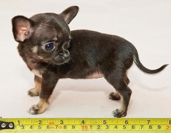 Gặp chú cún siêu tí hon nhỏ nhất nước Anh 1