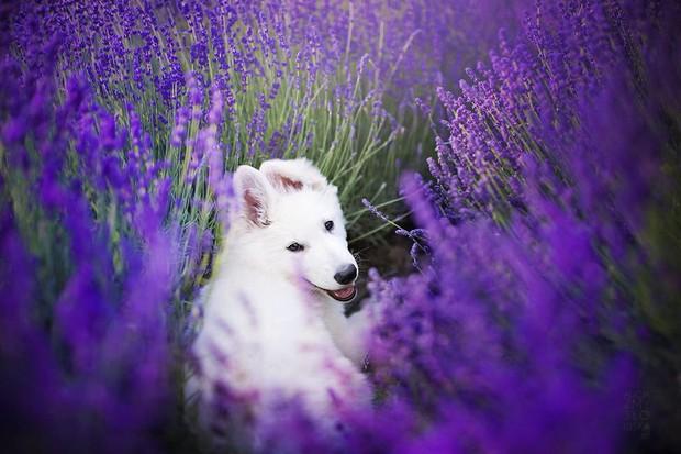 Cuộc dạo chơi giữa cánh đồng oải hương mộng mơ của những em chó mặt xinh - Ảnh 3.