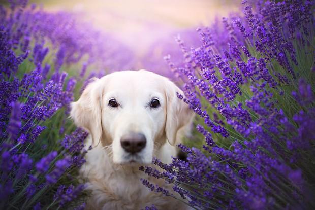 Cuộc dạo chơi giữa cánh đồng oải hương mộng mơ của những em chó mặt xinh - Ảnh 5.