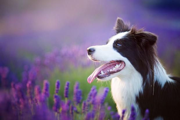 Cuộc dạo chơi giữa cánh đồng oải hương mộng mơ của những em chó mặt xinh - Ảnh 7.