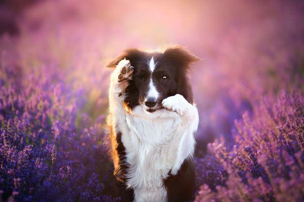 Cuộc dạo chơi giữa cánh đồng oải hương mộng mơ của những em chó mặt xinh - Ảnh 13.