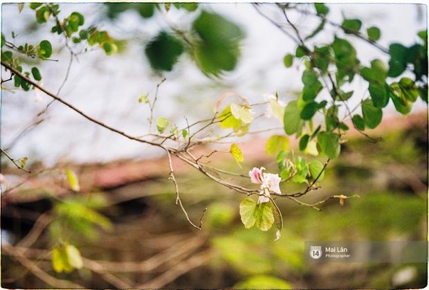 Lại một mùa hoa ban tím chở một góc Tây Bắc về giữa lòng Hà Nội - Ảnh 10.