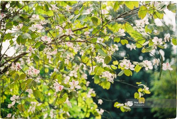 Lại một mùa hoa ban tím chở một góc Tây Bắc về giữa lòng Hà Nội - Ảnh 13.
