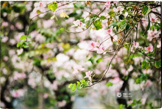 Lại một mùa hoa ban tím chở một góc Tây Bắc về giữa lòng Hà Nội - Ảnh 4.