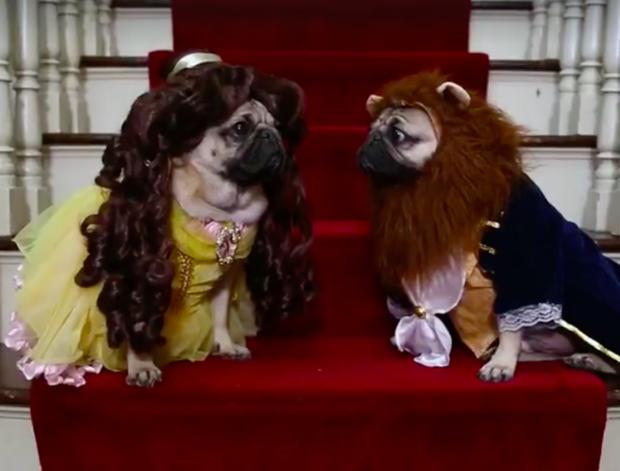 Phim ngắn hài hước ăn theo siêu phẩm Người đẹp và Quái vật của cặp đôi chó pug - Ảnh 2.