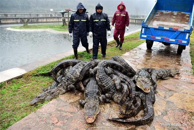 Trung Quốc: Hơn 13.000 nhóc tì cá sấu đang ngủ đông thì bị bắt đi tắm nắng - Ảnh 8.