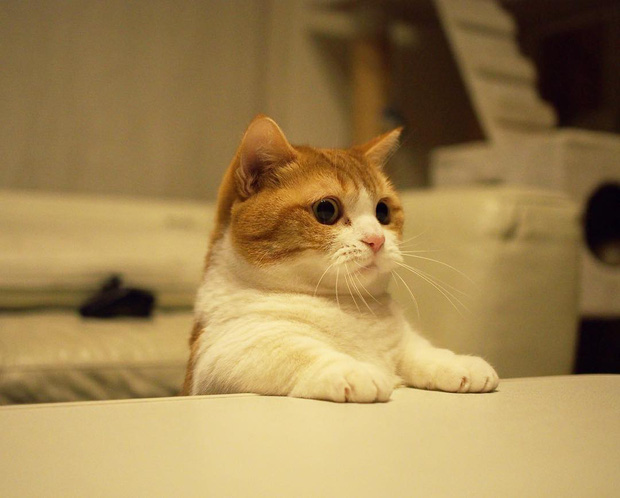 Cả thế giới ra mà xem cặp mèo chân ngắn một mẩu đốn tim cư dân mạng - Ảnh 10.