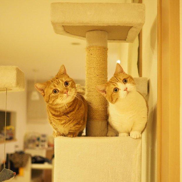 Cả thế giới ra mà xem cặp mèo chân ngắn một mẩu đốn tim cư dân mạng - Ảnh 1.