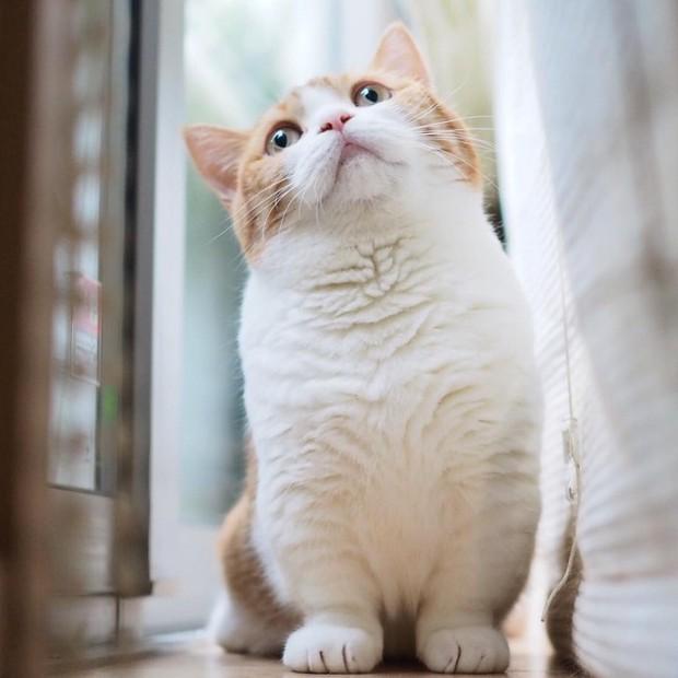 Cả thế giới ra mà xem cặp mèo chân ngắn một mẩu đốn tim cư dân mạng - Ảnh 11.