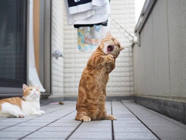 Cả thế giới ra mà xem cặp mèo chân ngắn một mẩu đốn tim cư dân mạng - Ảnh 8.
