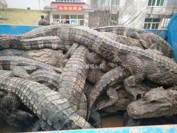 Trung Quốc: Hơn 13.000 nhóc tì cá sấu đang ngủ đông thì bị bắt đi tắm nắng - Ảnh 6.