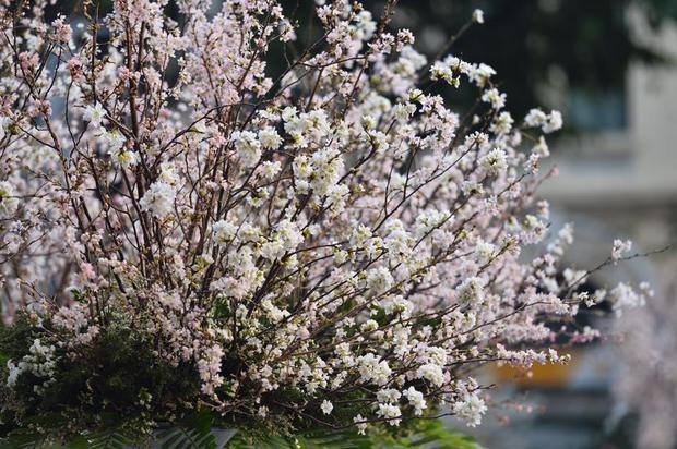 Người dân Hà Nội háo hức chụp ảnh với hoa anh đào từ ngoài hàng rào - Ảnh 8.
