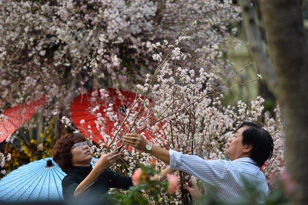 Người dân Hà Nội háo hức chụp ảnh với hoa anh đào từ ngoài hàng rào - Ảnh 7.