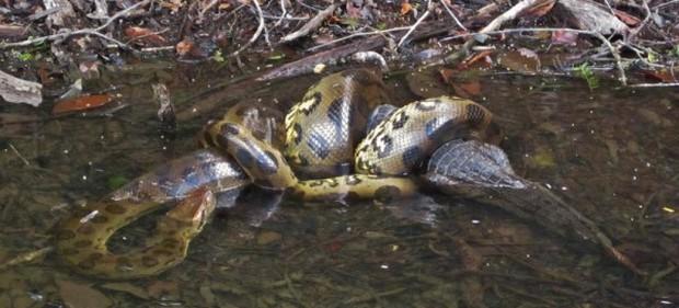 Trăn Anaconda hung bạo là thế nhưng cũng phải khuất phục trước 2 hung thần Amazon này - Ảnh 8.