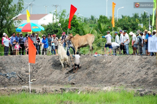 Chùm ảnh: Những pha té ngã không thương tiếc trên đường đua bò vùng Bảy Núi - Ảnh 7.