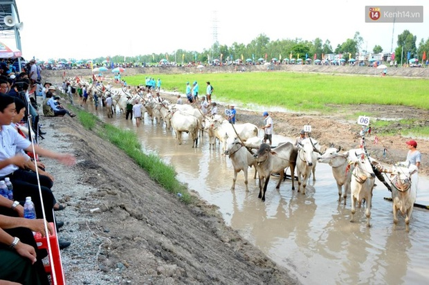 Chùm ảnh: Những pha té ngã không thương tiếc trên đường đua bò vùng Bảy Núi - Ảnh 1.