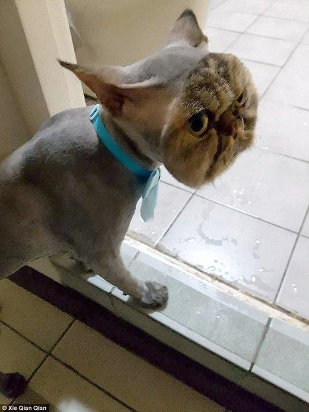 Không thể nhịn cười khi nhìn chú mèo đang cạo lông dở thì nhà mất điện - Ảnh 1.