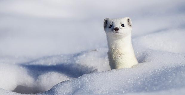 Loài chồn tuyết sang chảnh lông trắng, mặt xinh, chung tình và gợi cảm - Ảnh 4.