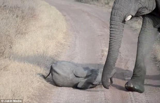 Chú voi con bày trò nằm giãy giụa giữa đường để ăn vạ bố mẹ - Ảnh 3.