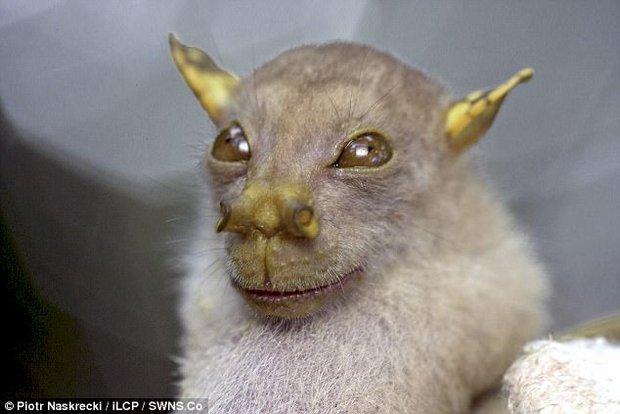 Tìm ra loài dơi có gương mặt y hệt thánh Yoda của Star War - Ảnh 2.