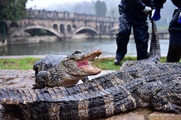 Trung Quốc: Hơn 13.000 nhóc tì cá sấu đang ngủ đông thì bị bắt đi tắm nắng - Ảnh 9.