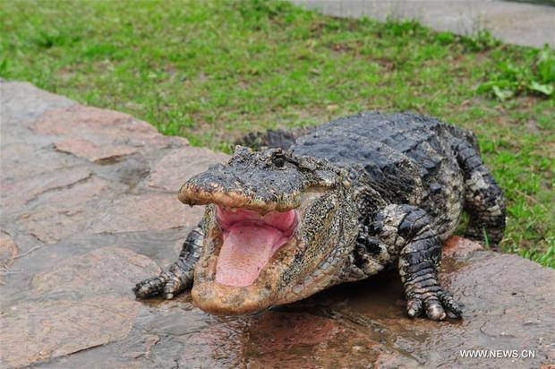 Trung Quốc: Hơn 13.000 nhóc tì cá sấu đang ngủ đông thì bị bắt đi tắm nắng - Ảnh 11.