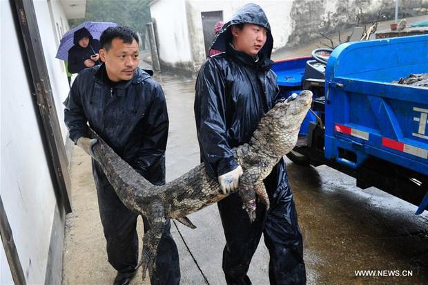 Trung Quốc: Hơn 13.000 nhóc tì cá sấu đang ngủ đông thì bị bắt đi tắm nắng - Ảnh 2.