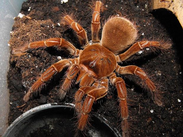 Cận cảnh loài nhện lớn nhất thế giới - có thể xơi tái chuột trong chớp mắt - Ảnh 7.