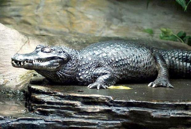Trăn Anaconda hung bạo là thế nhưng cũng phải khuất phục trước 2 hung thần Amazon này - Ảnh 6.