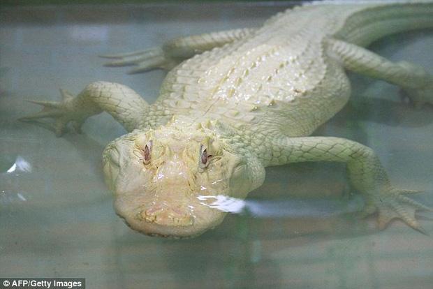 Cá sấu trắng nghi được dùng để làm túi Hermès Birkin quý hiếm đến độ nào? - Ảnh 4.