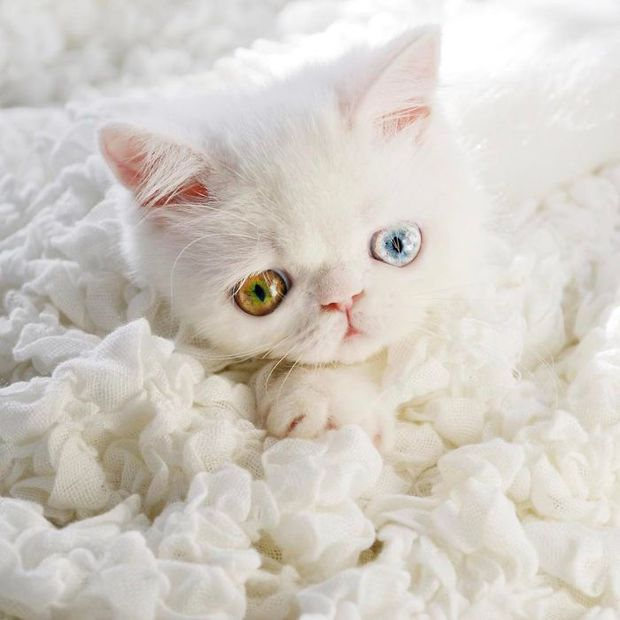 Chú mèo xinh đẹp sở hữu đôi mắt hai màu lấp lánh tựa pha lê - Ảnh 17.