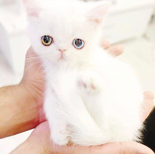 Chú mèo xinh đẹp sở hữu đôi mắt hai màu lấp lánh tựa pha lê - Ảnh 15.