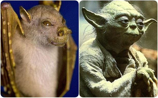 Tìm ra loài dơi có gương mặt y hệt thánh Yoda của Star War - Ảnh 1.