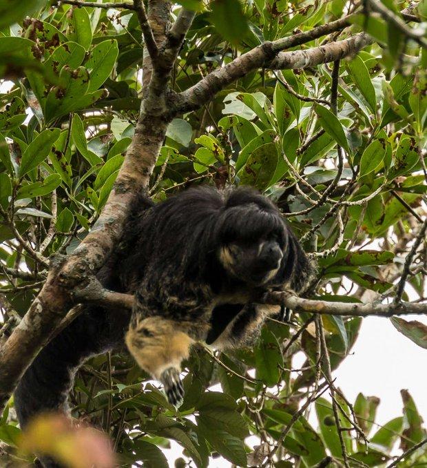 Một trong những loài vật bí ẩn nhất rừng Amazon lần đầu tiên được lên ảnh - Ảnh 3.