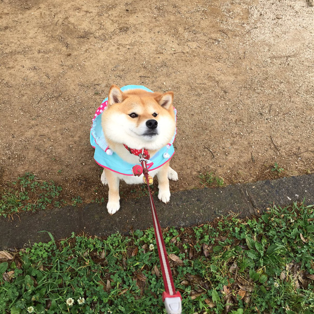 Nàng cún Shiba lầy lội: đã ra đường là không bao giờ chịu về nhà - Ảnh 8.