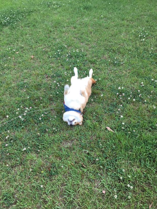 Nàng cún Shiba lầy lội: đã ra đường là không bao giờ chịu về nhà - Ảnh 11.
