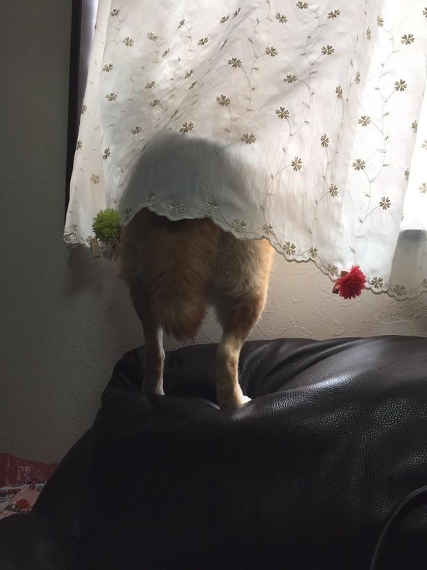 Nàng cún Shiba lầy lội: đã ra đường là không bao giờ chịu về nhà - Ảnh 16.