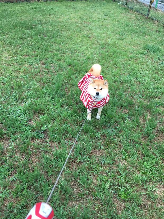 Nàng cún Shiba lầy lội: đã ra đường là không bao giờ chịu về nhà - Ảnh 13.