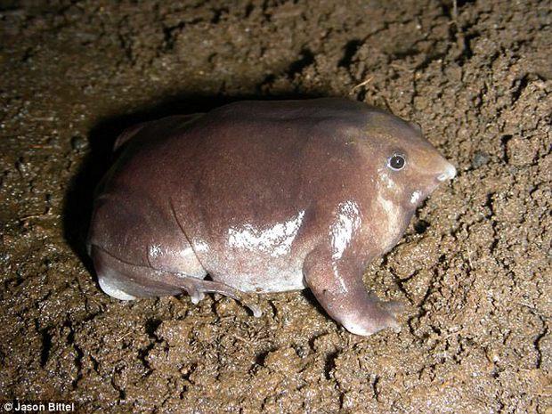 Tìm ra loài ếch mới có mũi như lợn màu tím ở Ấn Độ - Ảnh 2.