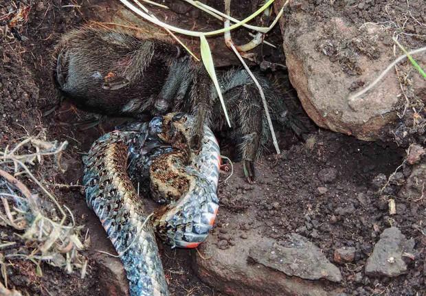Nhện khổng lồ xả thịt rắn - cảnh tượng khoa học chưa từng thấy bao giờ - Ảnh 2.