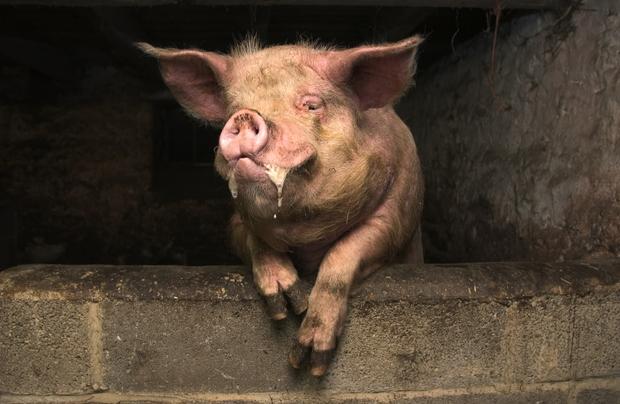 Kích động lợn nuôi, người đàn ông bị nó cắn tử vong - Ảnh 1.