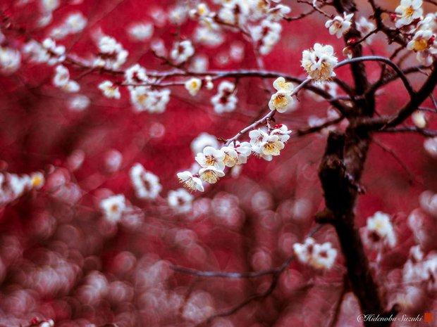 Nhật Bản vào mùa hoa mận nở trở nên đẹp đến nao lòng - Ảnh 15.